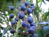 Blue barrys