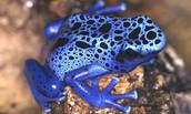 Poisonous Arrow Frog