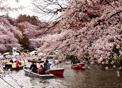 The coming of cherry blasoom