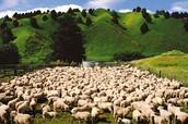 Uus-Meremaal on kordades rohkem lambaid kui inimesi selles riigis