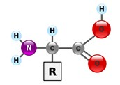 The monomer's name is amino acid, which composes proteins.