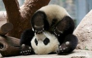 A Two Mounthed old Baby Panda