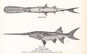 About the paddlefish and its characteristics