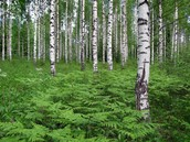 Finland Forest's (in general)