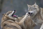 Wolfs are competing over a female group.