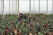F&F employee tending to greenery