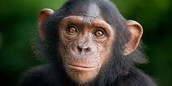 chimpanzees are being to dissapeere
