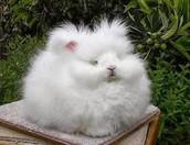 Fluffy Bunny (Pet)