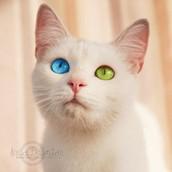 White odd-eyed cat