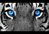My room is painted as blue as  a white tiger eyes.