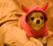 pig dog