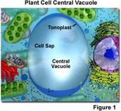 Vacuole
