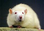 Ralph the Cloned Rat