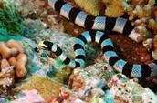 Biotic Factor-Sea snakes