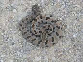 Rat snake camouflaged for rocky terrain.