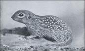 Xerospermophilus Ground Squirrel