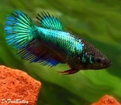 Green Female Crowntail Betta