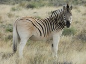 Quagga: Extinct