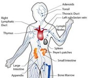 Function of the Immune system