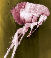Flea Body