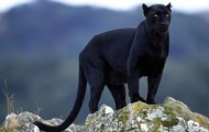 Nicknames- Wild Cat and Panther
