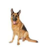 כלב מסוג רועה גרמני