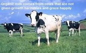 Our Cows Eat Organic Food