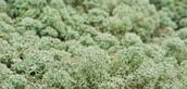 Tundra Caribou Moss