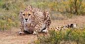 Sneaky Cheetah