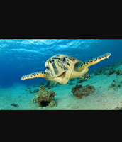 Favorite Organisms - Sea Turtle