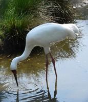 The Siberia Crane