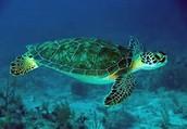 sea turtle adults