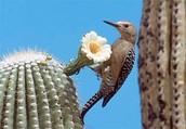 Woodpecker & Cactus