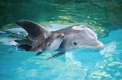 New Born Baby Dolphin