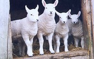 flock of cheviot lambs
