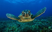 can swim as fast as a sea turtle?