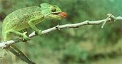 A chameleon catching its food