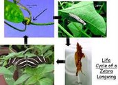 Zebra butterfly life cycle