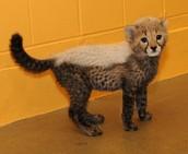 Interesting Cheetah Facts
