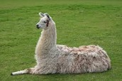 Picture of a Lama