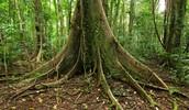 ביערות הגשם יש שפע של עצים וצמחים מיוחדים כמו העץ שעלה יש שורשים