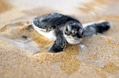 Baby Sea turtle in sand