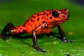 An orange redesh poison dart frog