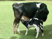 cow gives calf milk