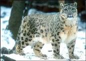 Se trata de un leopardo de las nieve masculina.