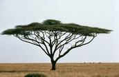 Umbrella Thorn Acacia