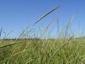 wild rice plant
