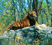 black belly tiger