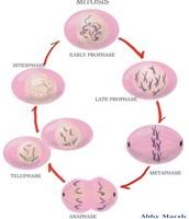 Mitosis diagram 2