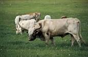 cow make milk